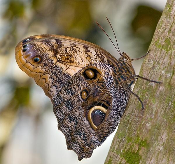 Giant Owl (Caligo memnon) by Mike_Young