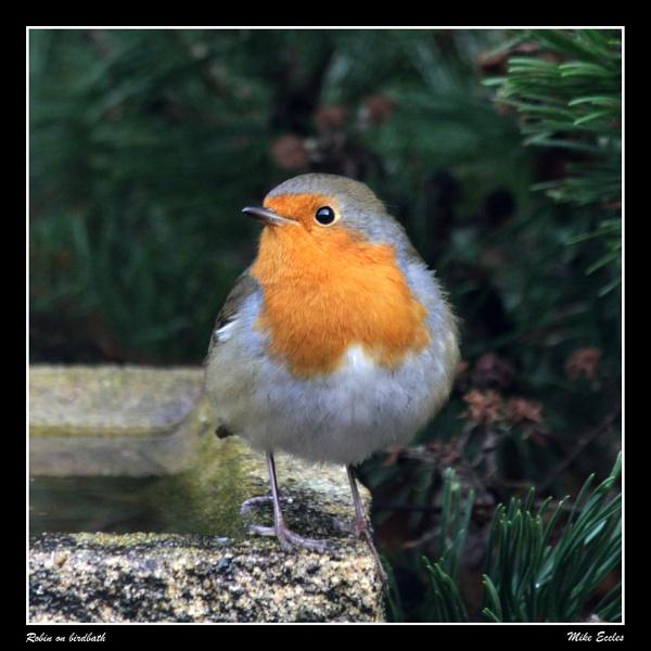 Robin on birdbath by oldgreyheron