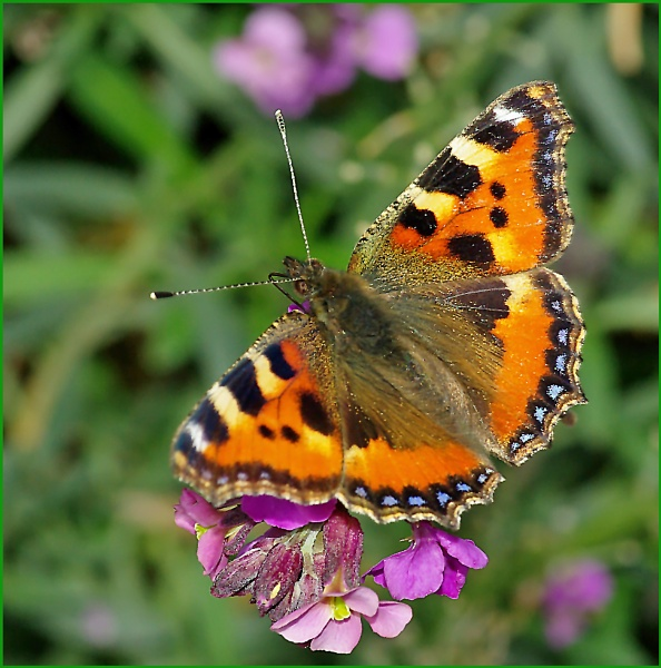 Small Tortoiseshell-Aglais urticae. by Badgerfred