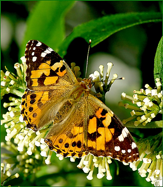 Painted Lady-Vanessa cardui. by Badgerfred
