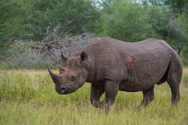 Black Rhino by Kruger01