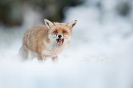 Fox calling