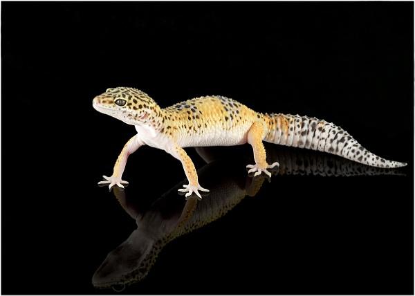 Leopard Gecko by Lillian
