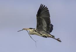 Heron with Twig