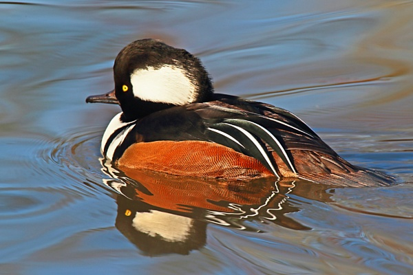 Hooded Merganser by M_squared