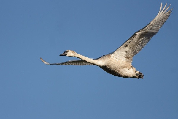 Swan in Flight by jackietalbot