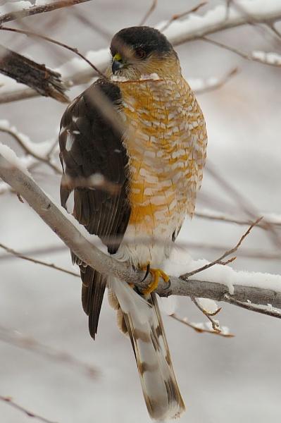 Sharp Shinned Hawk by StuartDavie