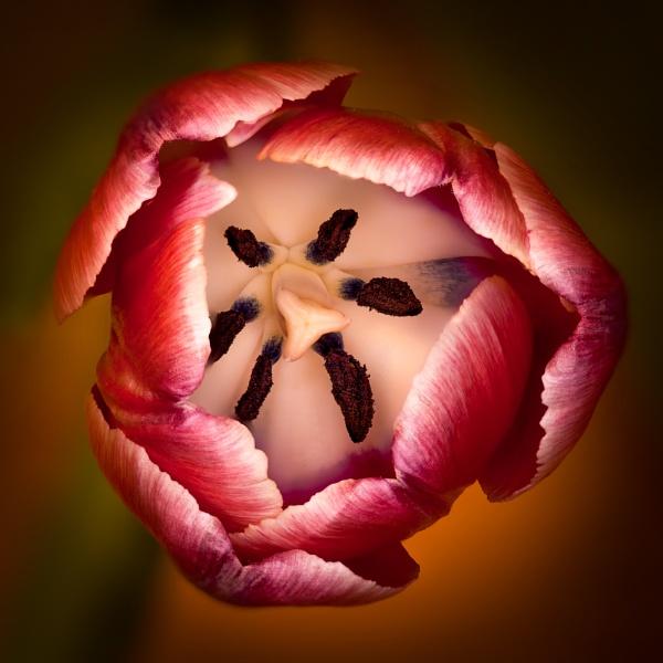 Tulip by HBJ