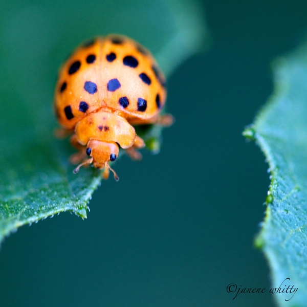 Lady Beetle by janenewhitty