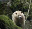 Spirit Bear British Columbia by maggietear