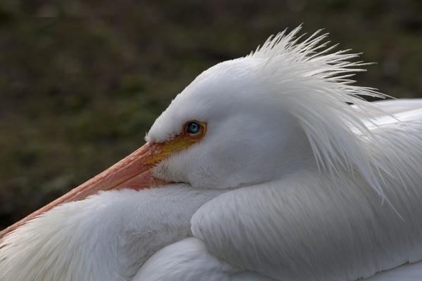 Pelican. by 10delboy