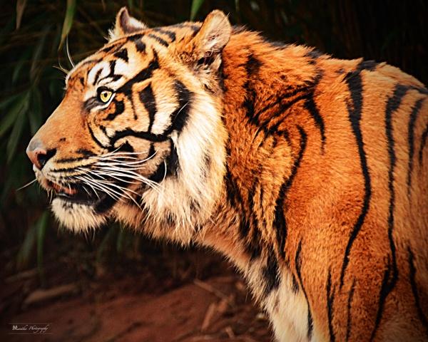 Tiger by ManthaTog