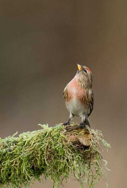 Lesser Redpoll (Carduelis cabaret) by robinleess