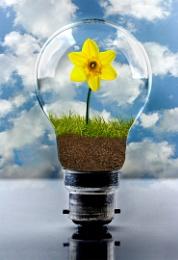 Daffodil Bulb
