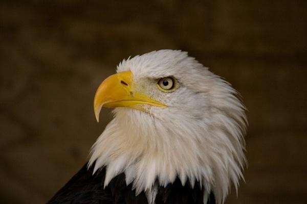 Wotan the Bald Eagle by CeeJayH