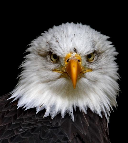 Bald Eagle portrait by Gruditch