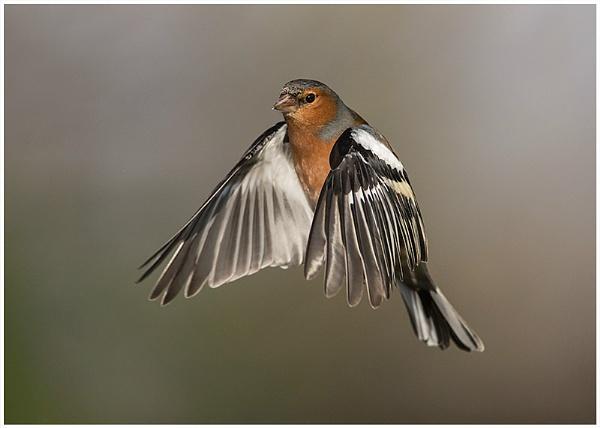 Chaffinch in Flight by barnowl