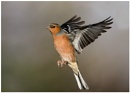Male Chaffinch by barnowl