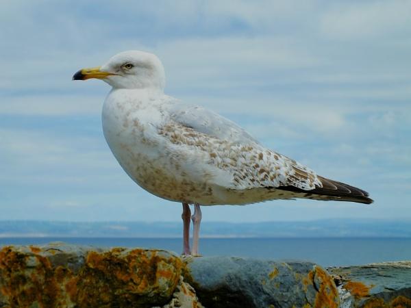 Bird, seagull by NatalieCHurrell