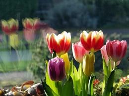 Window Tulips