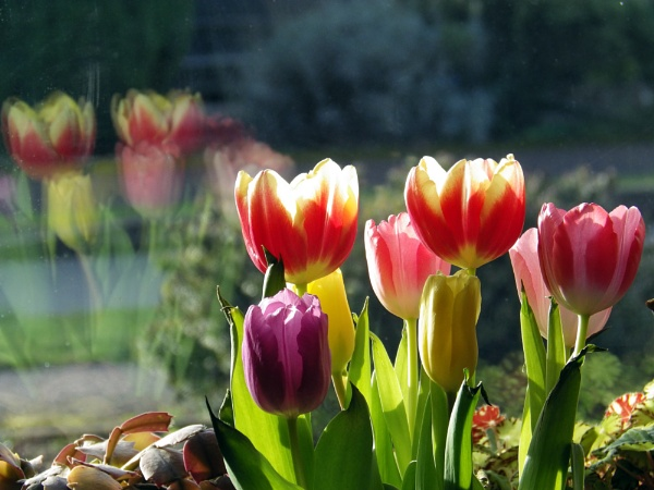 Window Tulips by johnwnjr