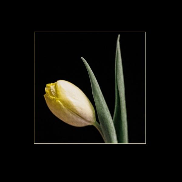 tulip by dwarf