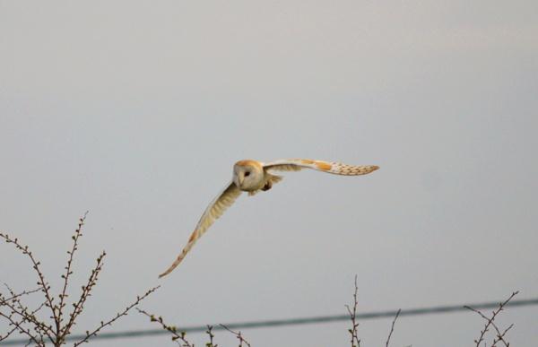 Barn Owl by Jacky4me
