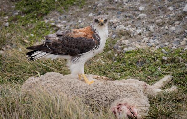 Female Red-Backed Hawk (Buteo Polyosoma), Falkland Islands by Kim Walton