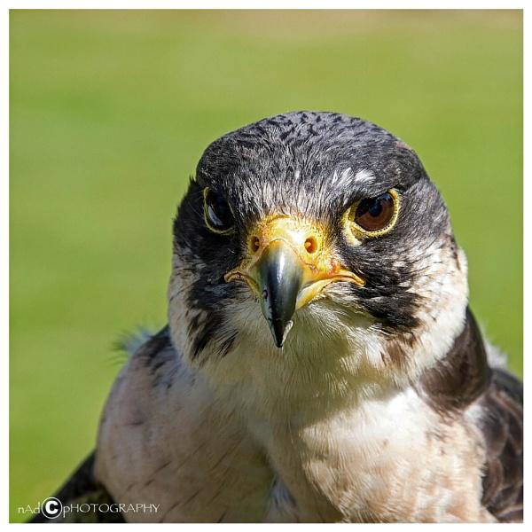 Phillip the Peregrine Falcon