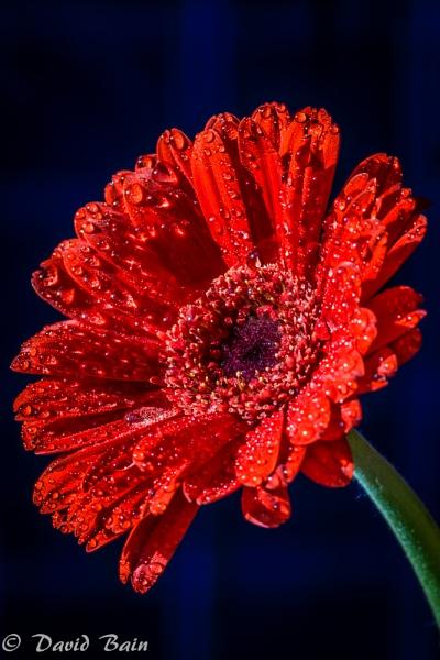 Red flower by DavyB