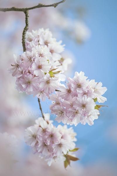 Cherry Blossom by jackyp