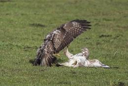 Photo : Fighting Buzzards