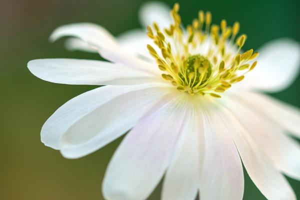 Windflower by WeeGeordieLass