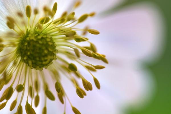Windflower Up Close by WeeGeordieLass