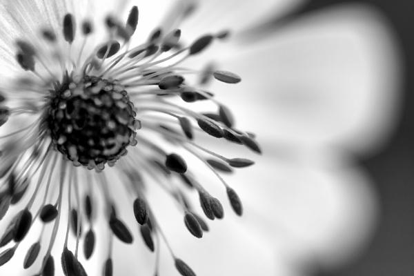 Windflower in Mono by WeeGeordieLass
