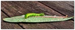 green caterpillar