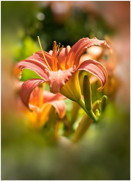 Hemerocallis/ Daylily