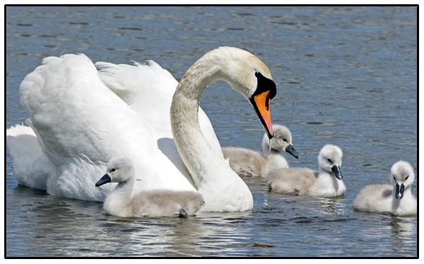 Abbotsbury Swans by TT999