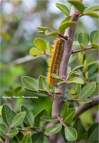Caterpillar by GeorgePlatis