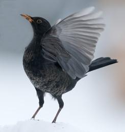 Blackbird in the snow.
