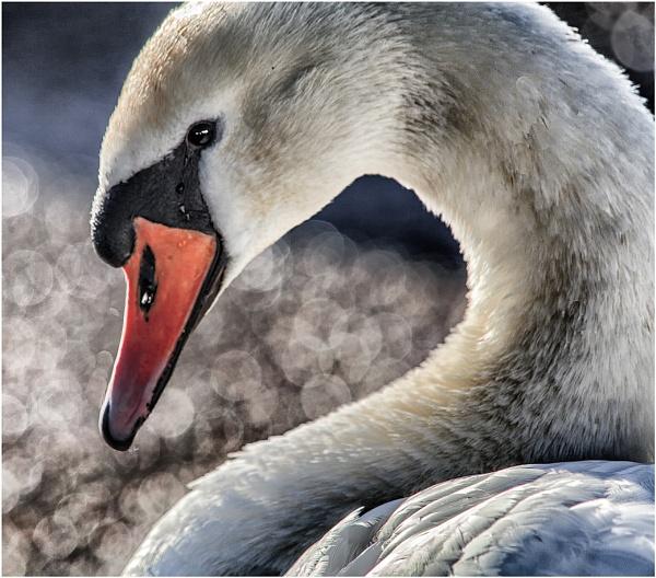 Portrait Of A Swan by jason_e