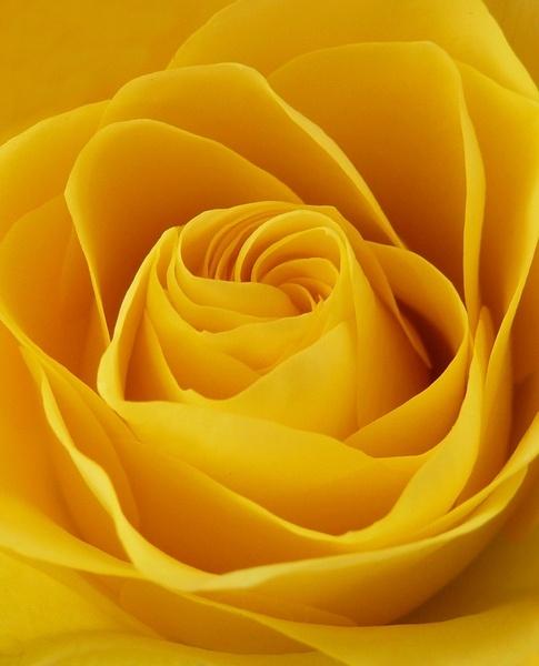 Valentine\'s rose. by BarbaraR
