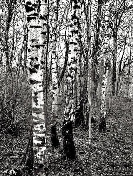 Winter Trees by Irishkate