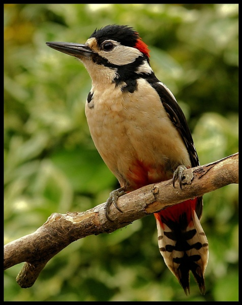 Great Spotted Woodpecker by nglen