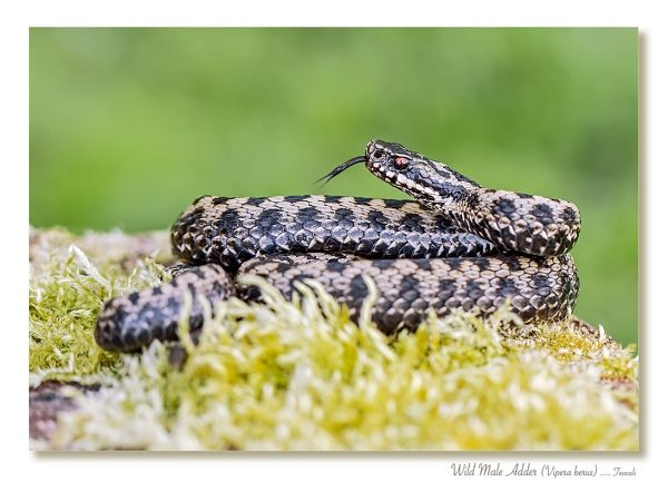 Wild Male Adder by teocali