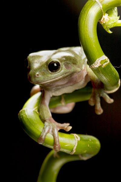 Whites tree frog by Geofferz