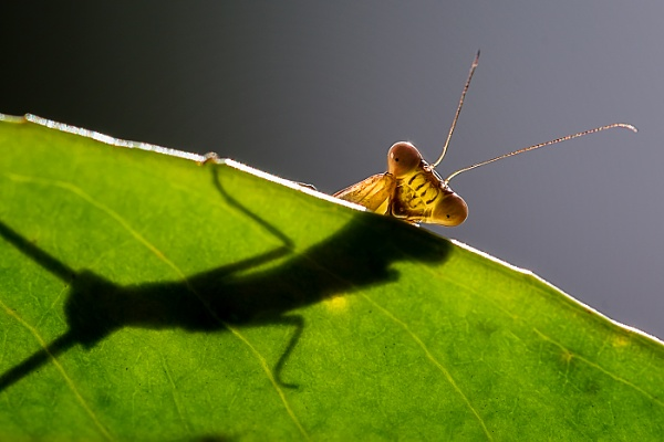 Praying Mantis + shadow by mikepearce