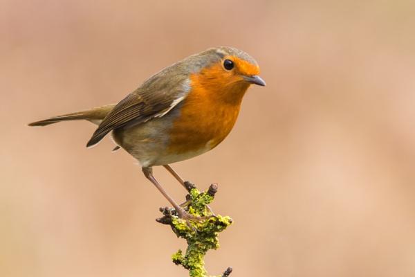Robin by john_slevin