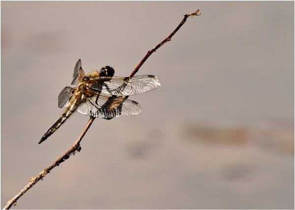 Dragonfly by mickyr