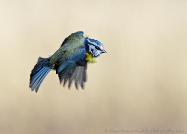 Blue Tit on the move ! by WindowonWildlife